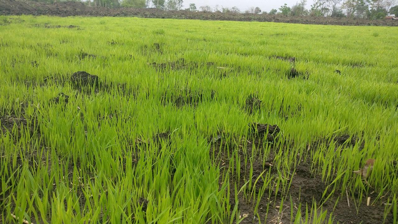 تدوین دستورالعمل ایمنی نانومحصولات کشاورزی در هند