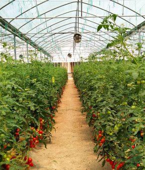 بهبود کارایی کشت گوجهفرنگی با فناوری نانوحباب ایرانی